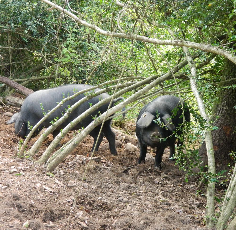jeunes porcs gascon dans les bois