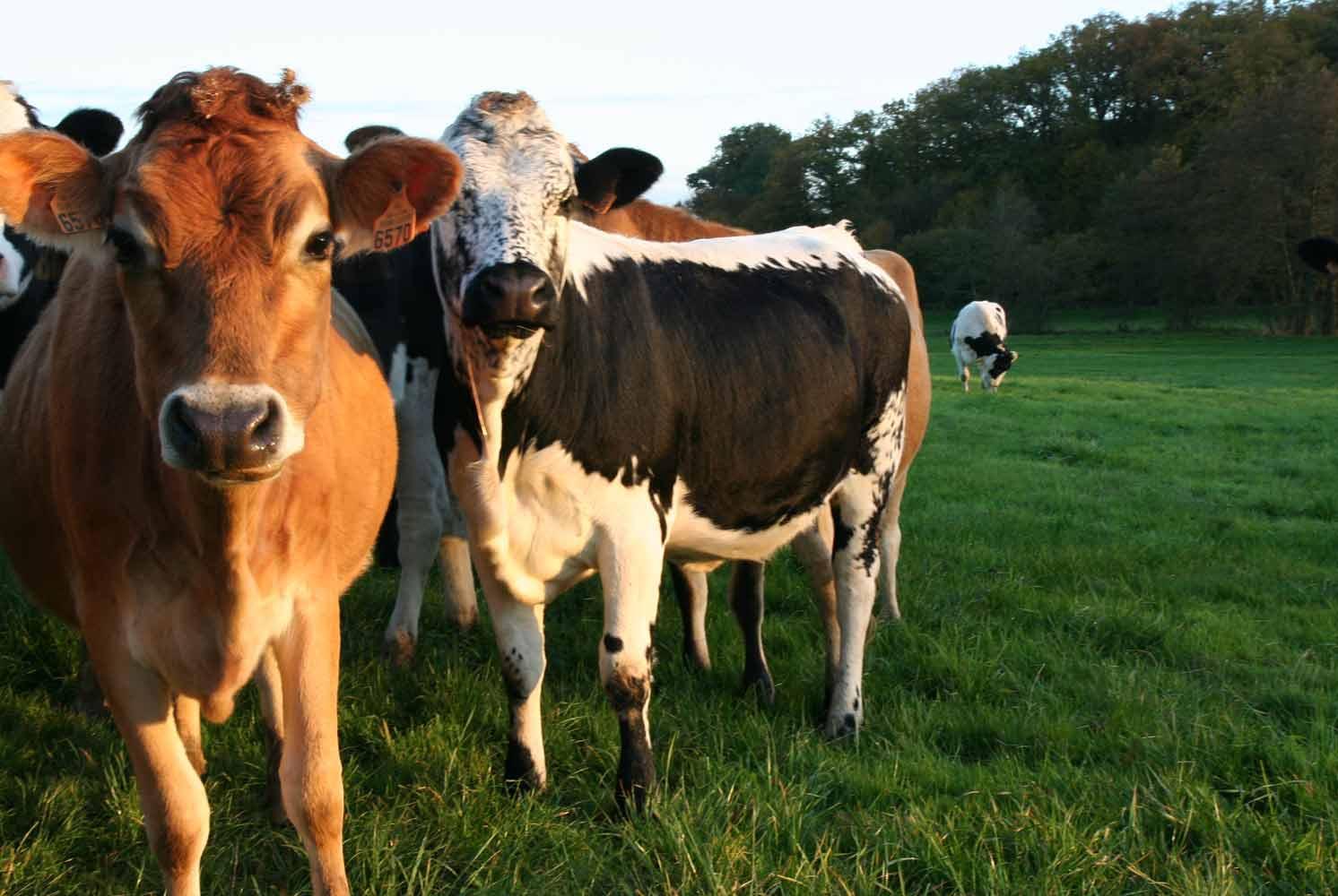 vaches laitières de la ferme