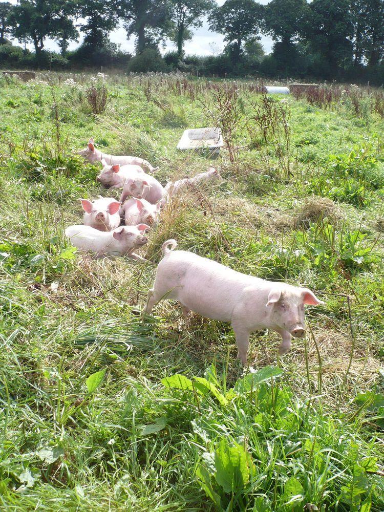 Elevage de cochons bio