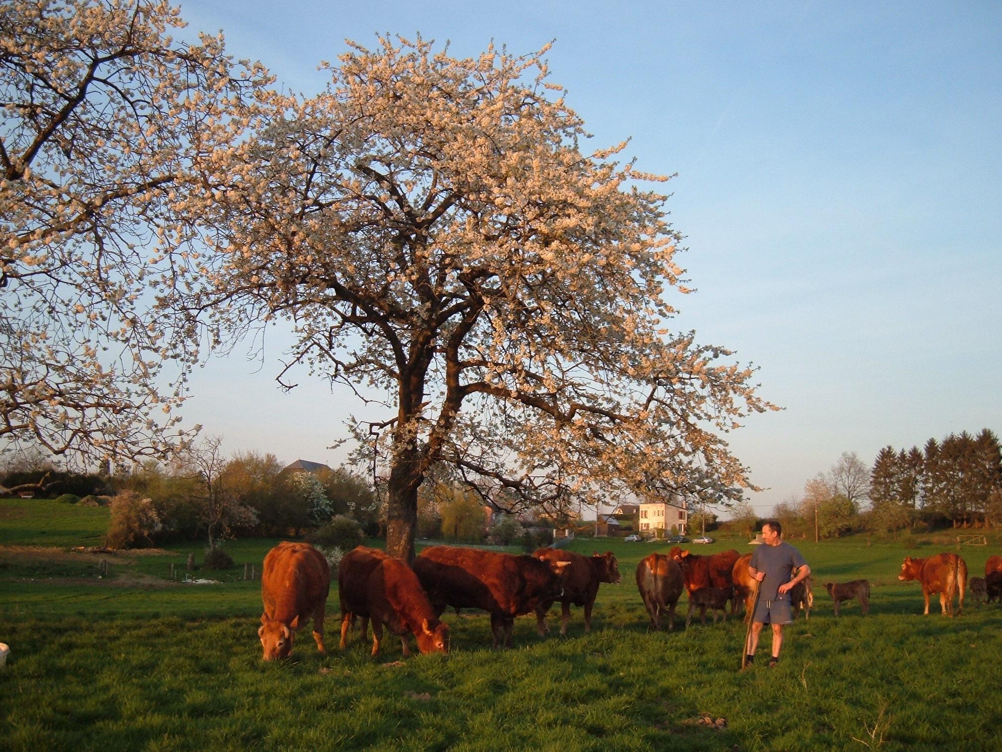 Notre élevage de boeufs