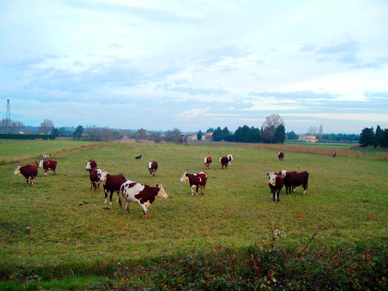 une partie du troupeau