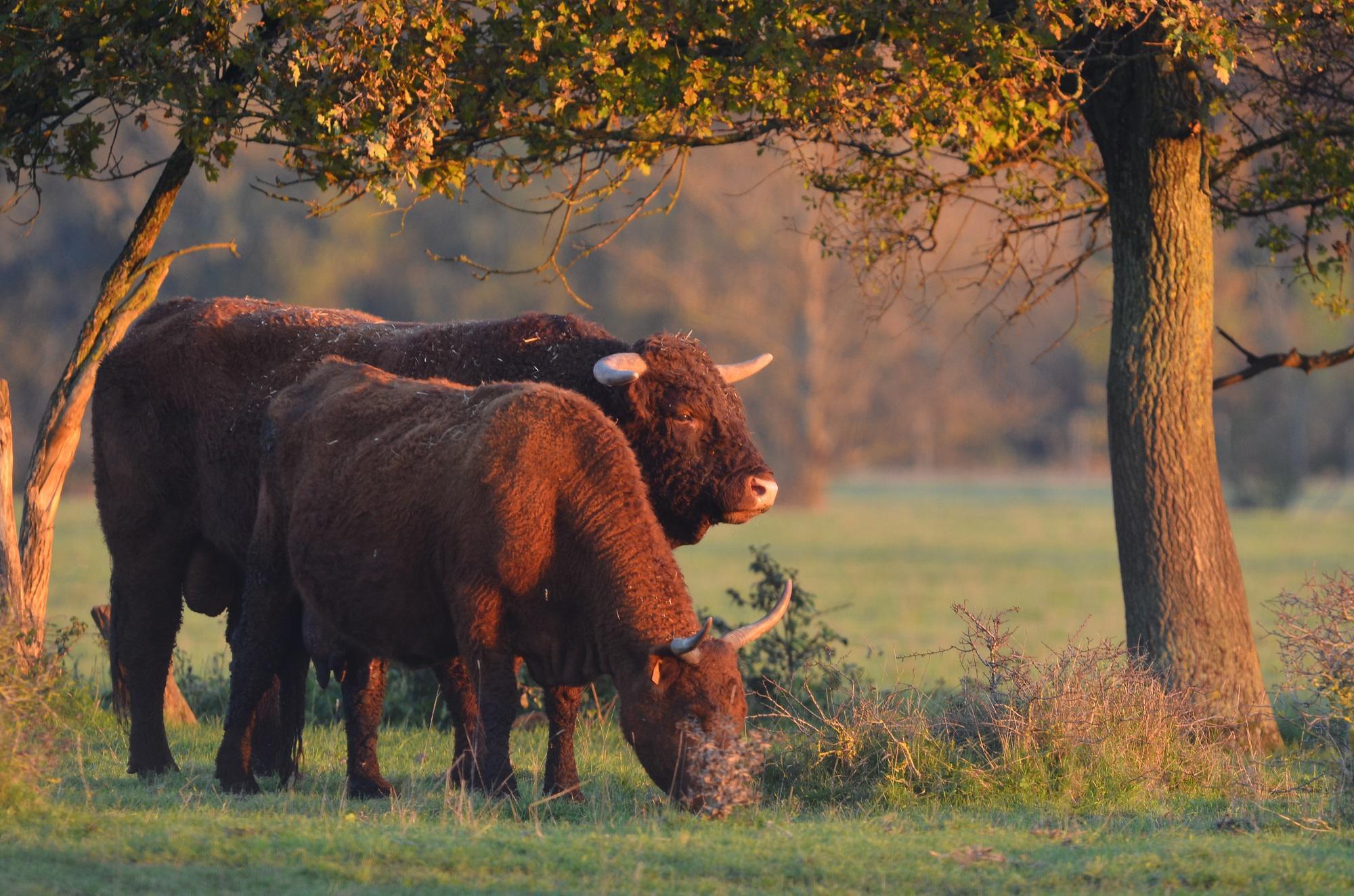 vache Salers du domaine de l'Orme