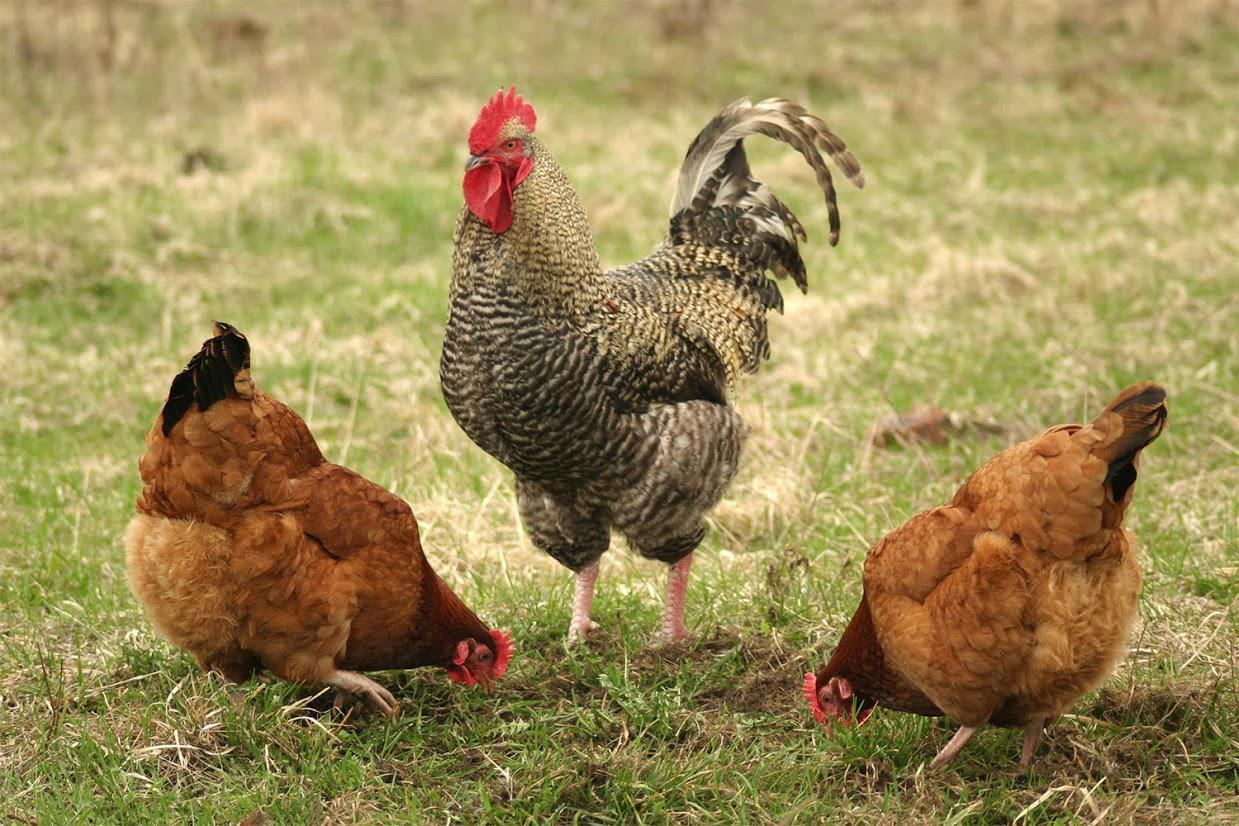 Vente de viande volailles