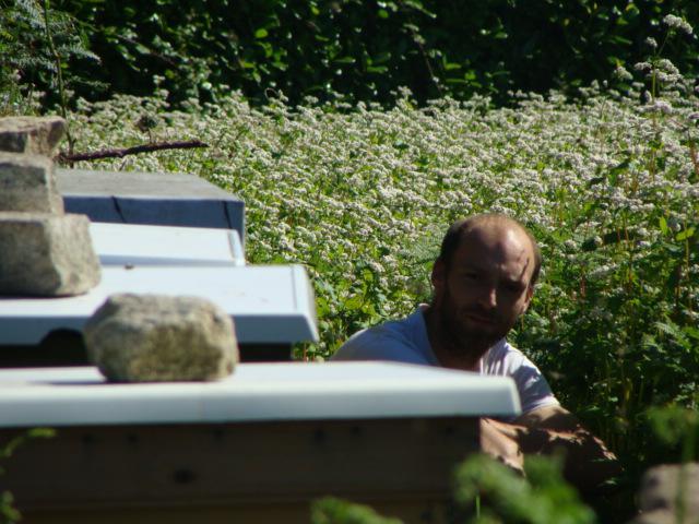 Ruches et apiculteur sur champ de sarrasin