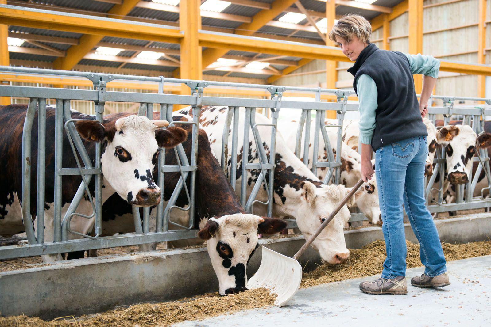 Alimentation des vaches l'hiver