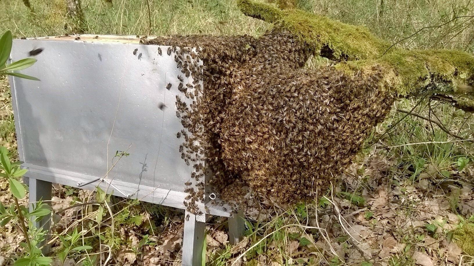 Mise en ruche d'un essaim naturel