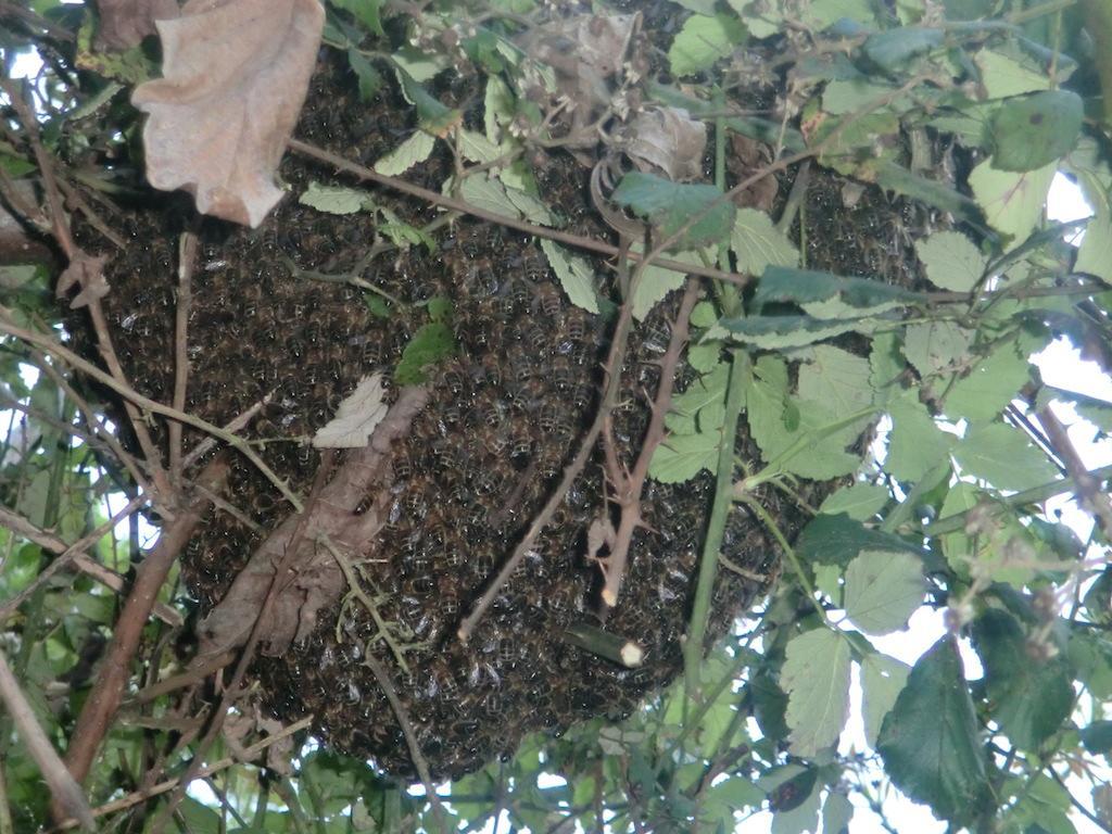 Essaim primaire - abeille noire locale du Morvan