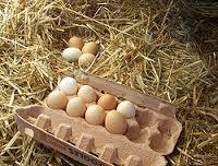 Les poules pondent dans les nids de paille
