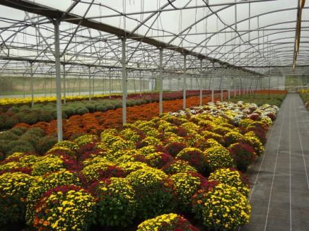 Culture de chrysanthèmes