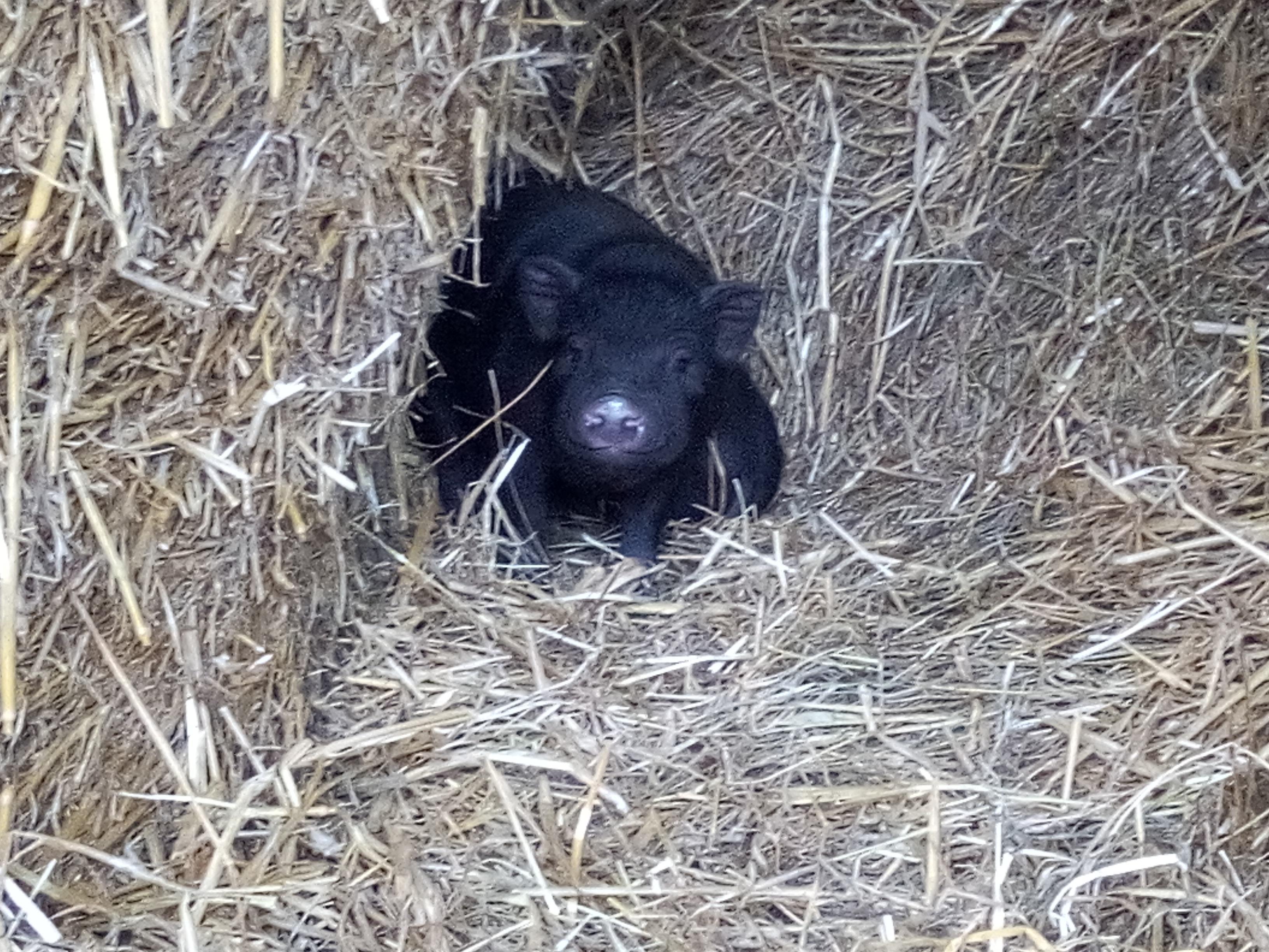 cochon chinois