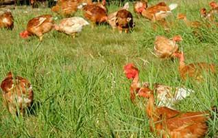 poulets élevés en plein air