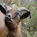 Fleurette et les autres chèvres pâturent librement nos prairies naturelles à côté de leur chèvrerie en construction bois