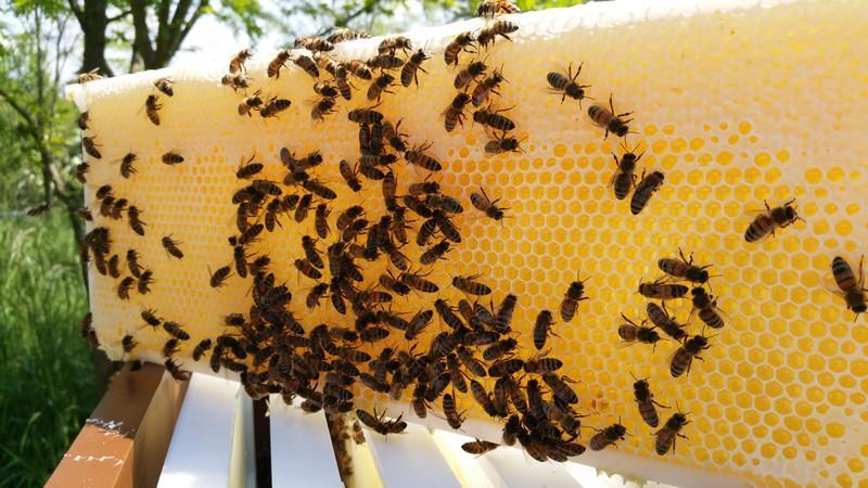 abeille de lorraine