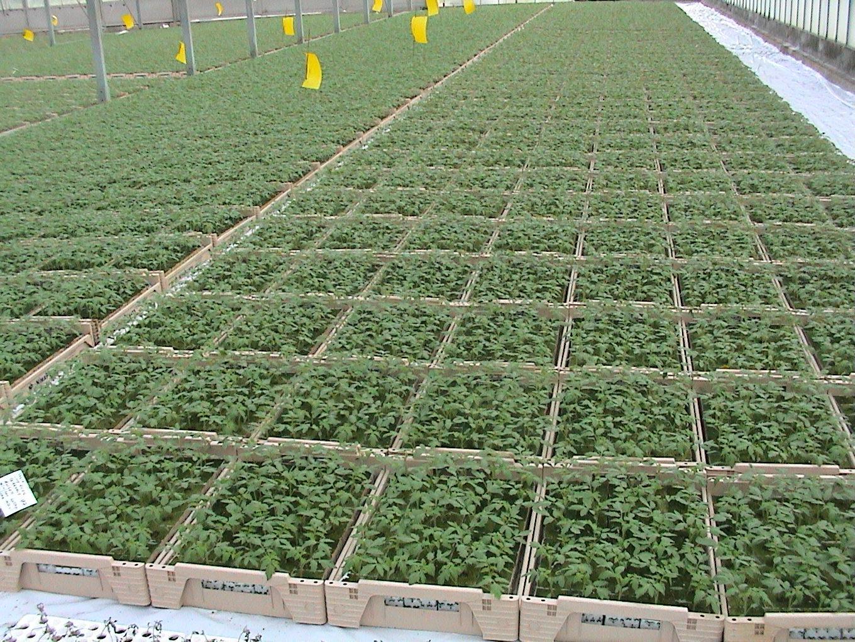 Plants de Tomates greffées