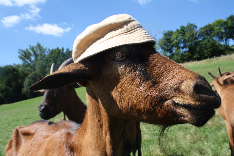 Les chèvres de Chazalon