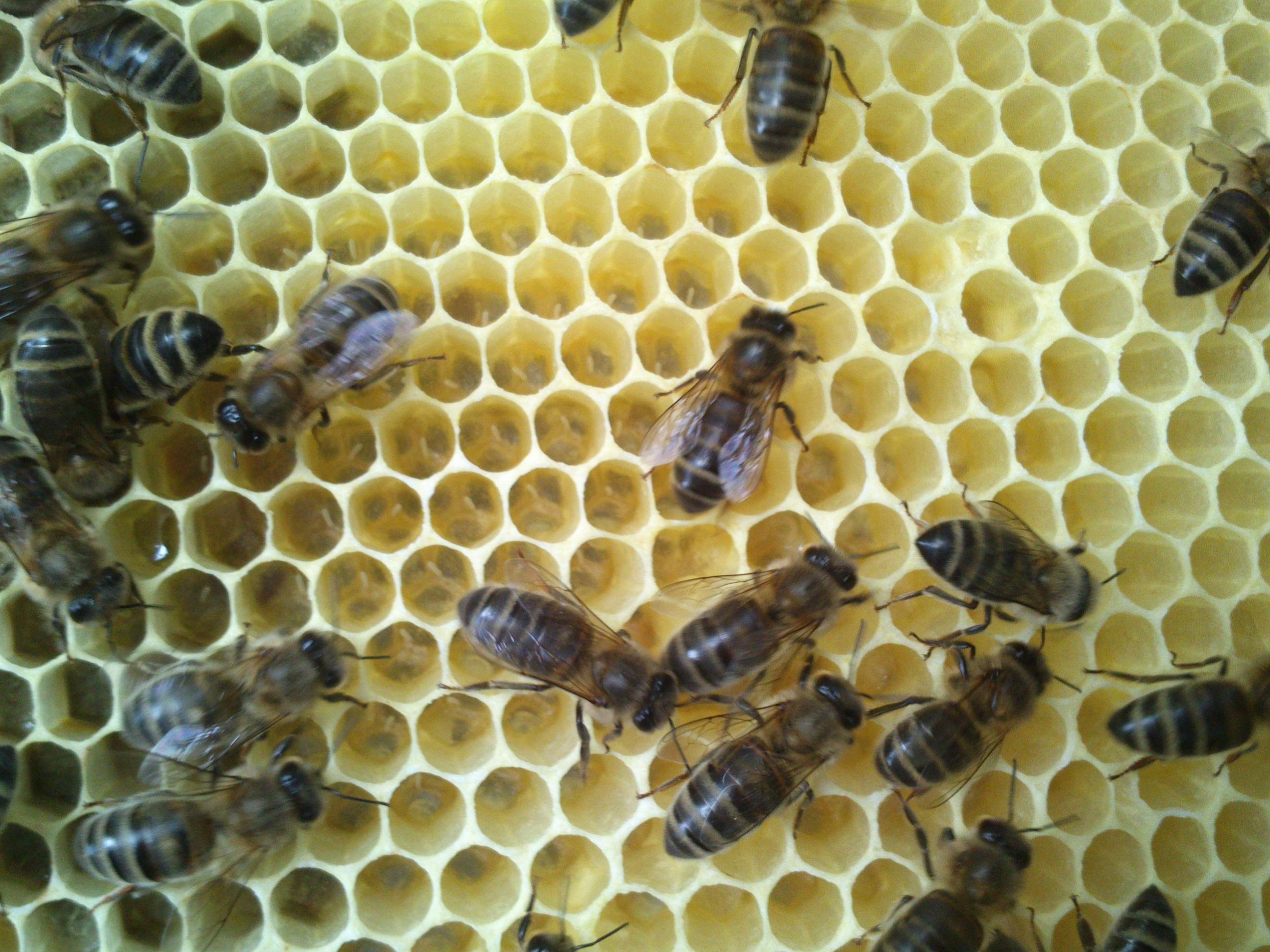 les abeilles occupées à étirer la cire