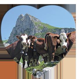les vaches à l'alpage