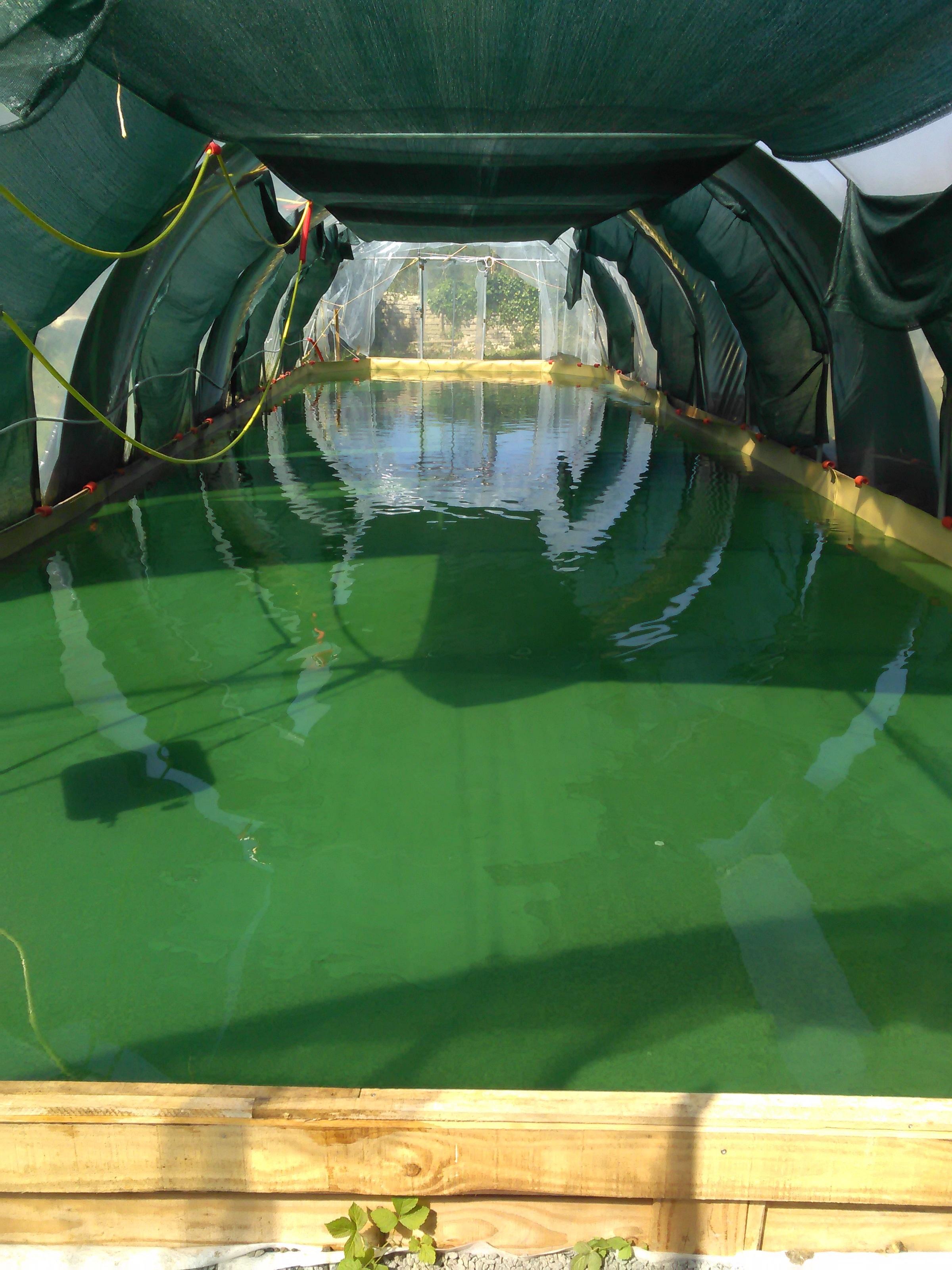 la spiruline se cultive sous serre dans un bassin de faible profondeur