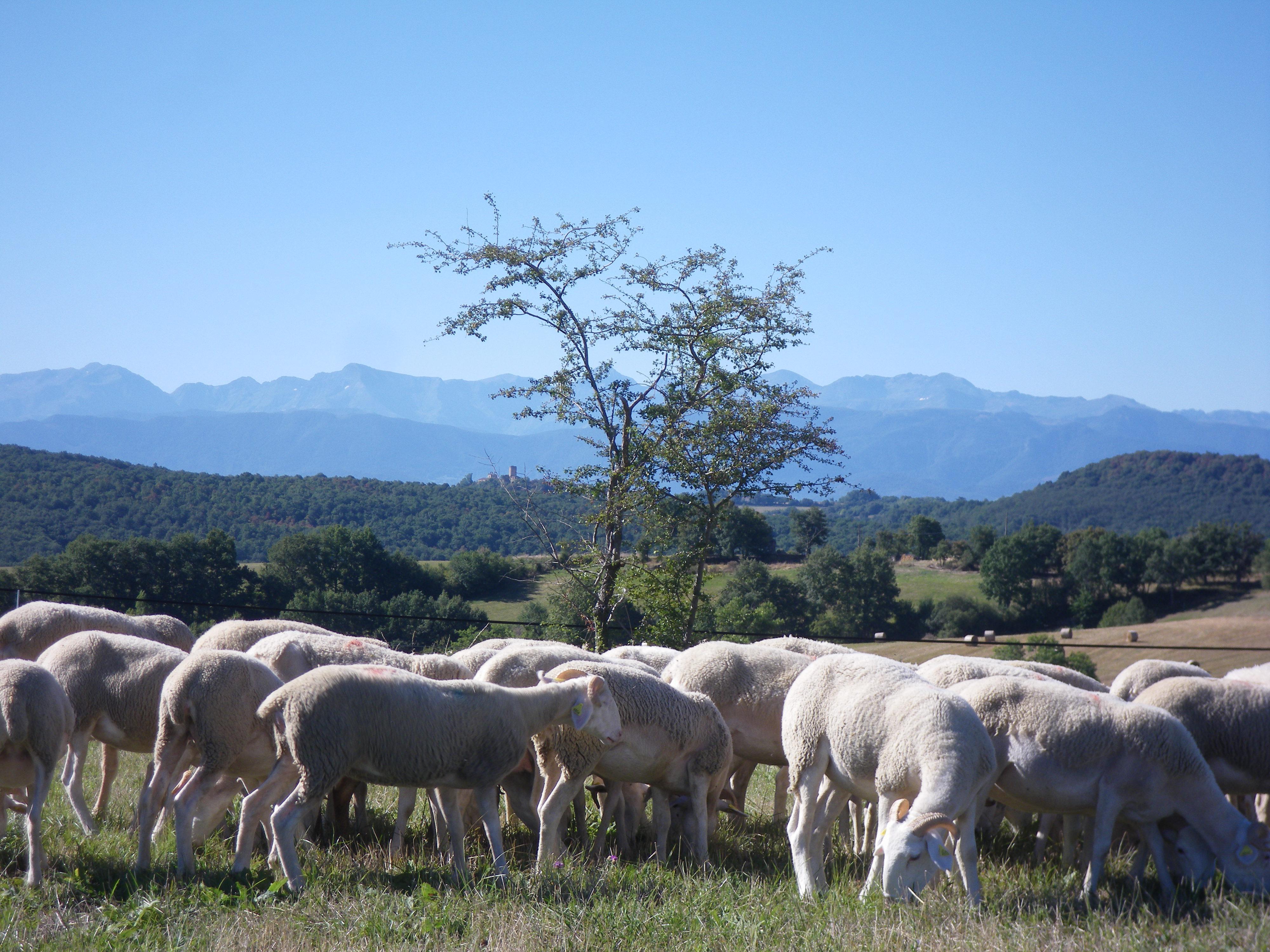 les ovins en paturage