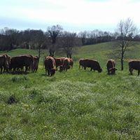 bovins élevés à l'herbe