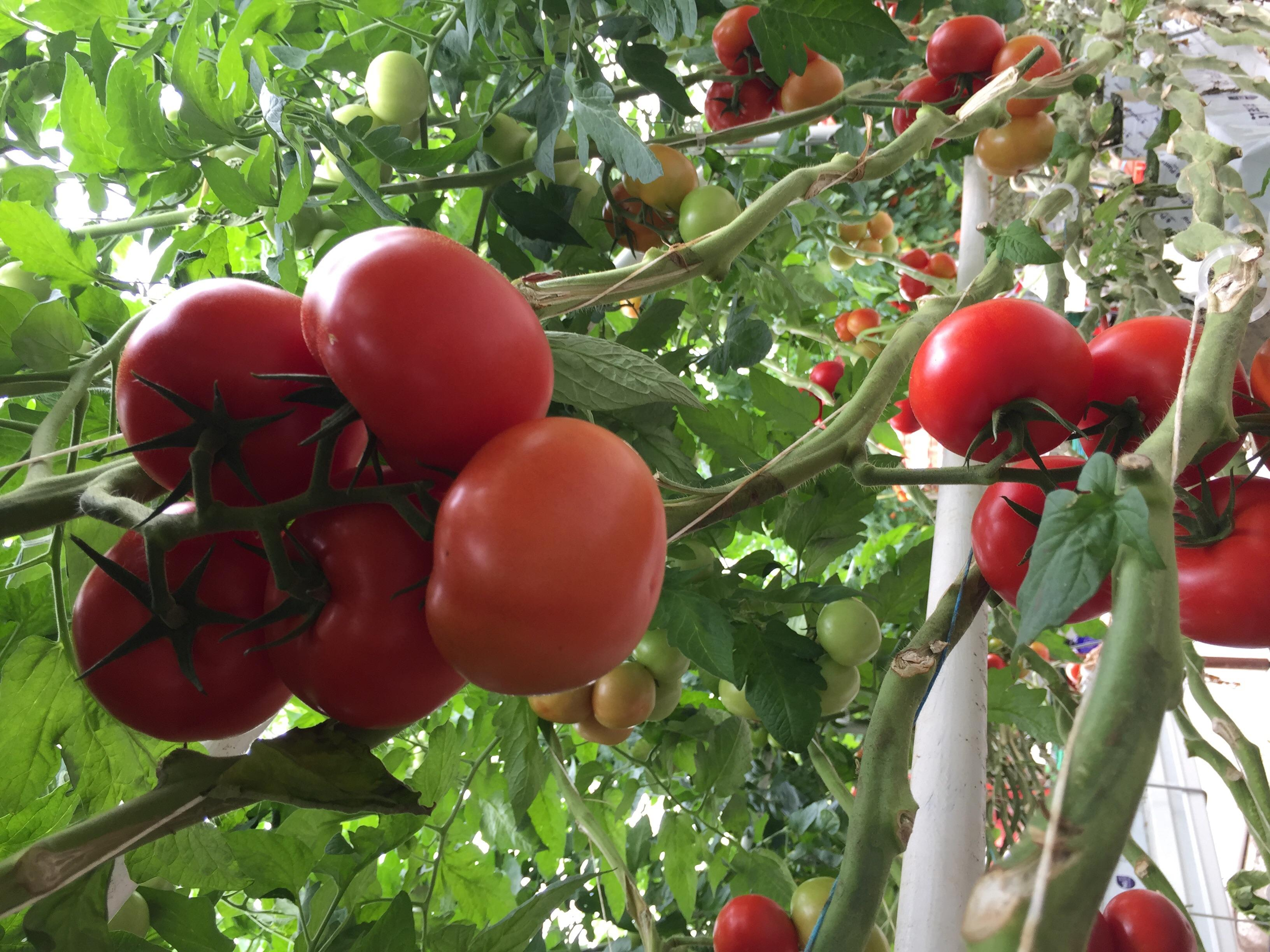 Tomate Ronde en grappe