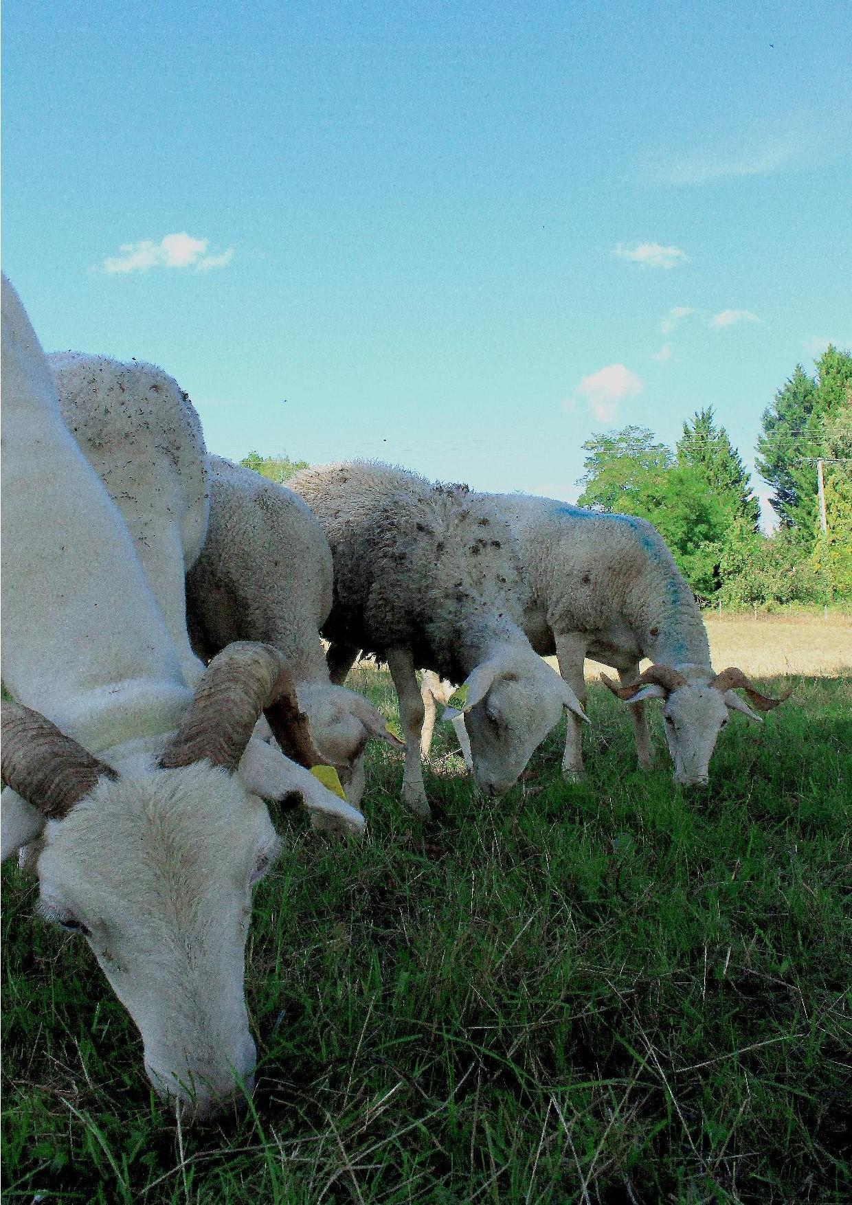 agneaux du couserans