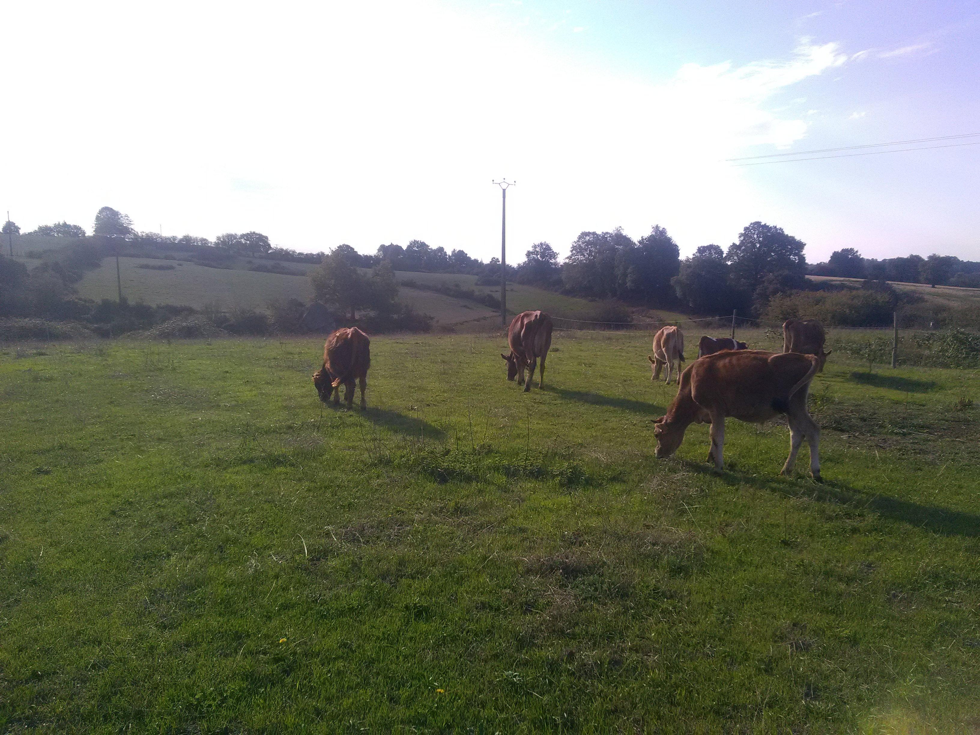 Vache, broutard, veau en pâturage