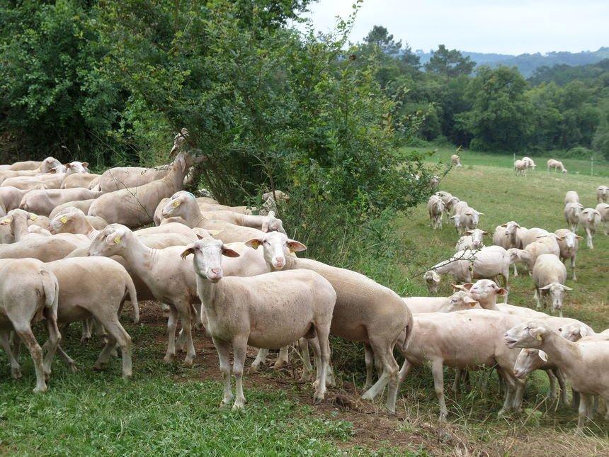 Les brebis pastorales