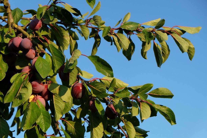 prunes à la récolte