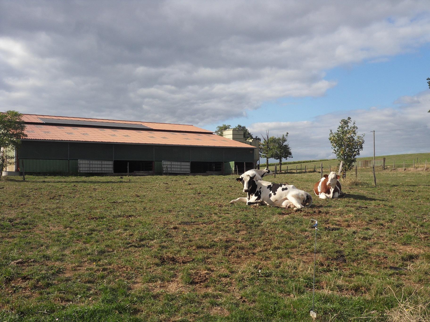 vaches en préparation au vêlage