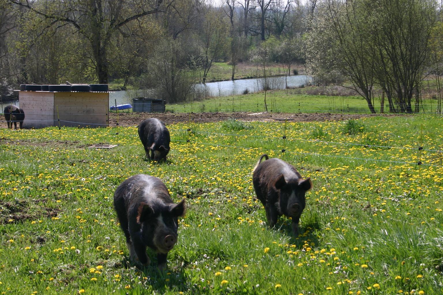Porc de La Borio