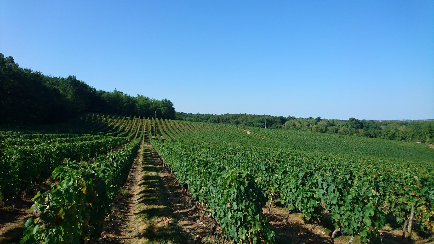 Vigne de Château Grand Chêne