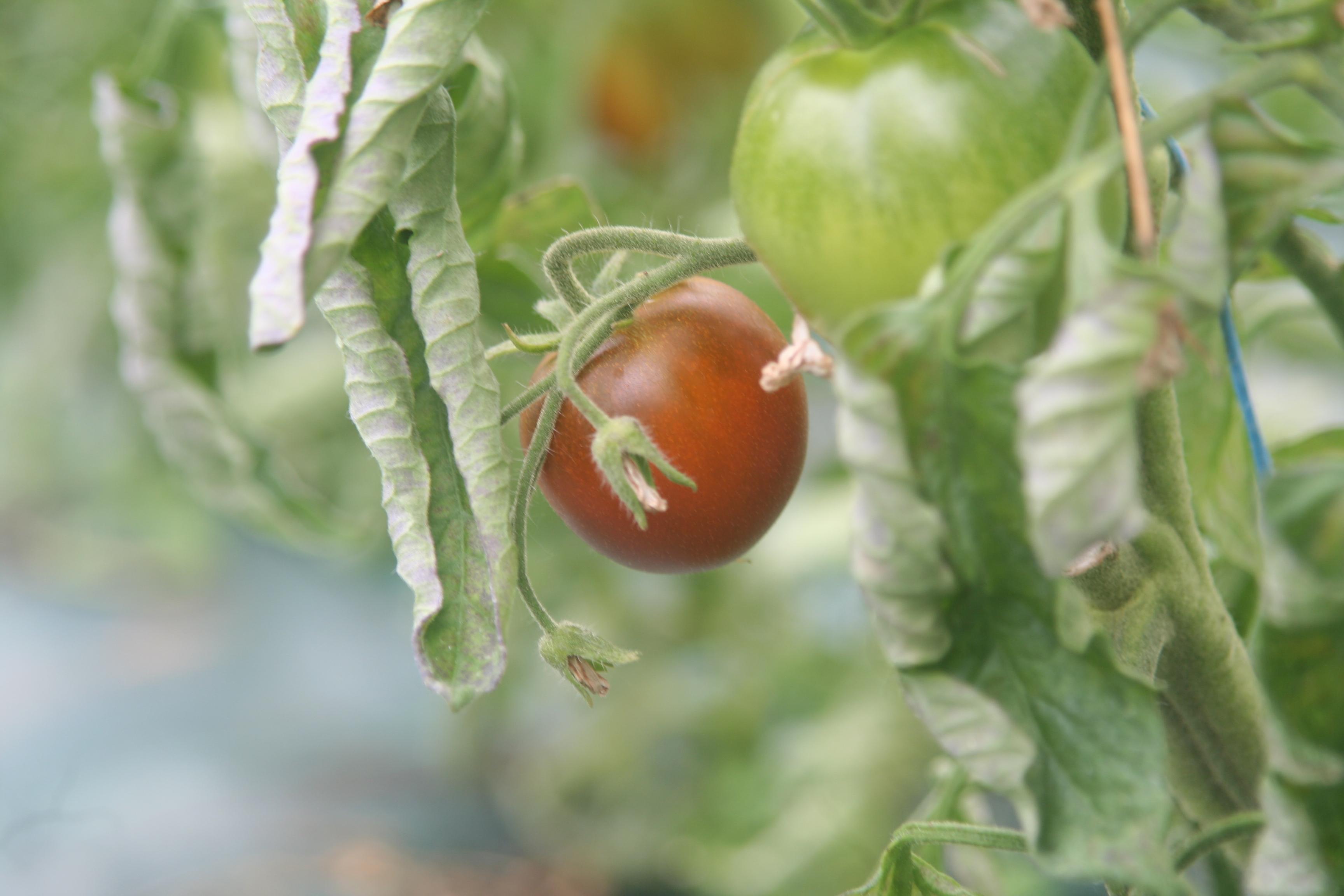 bien sûr on fait des tomates, à la saison.