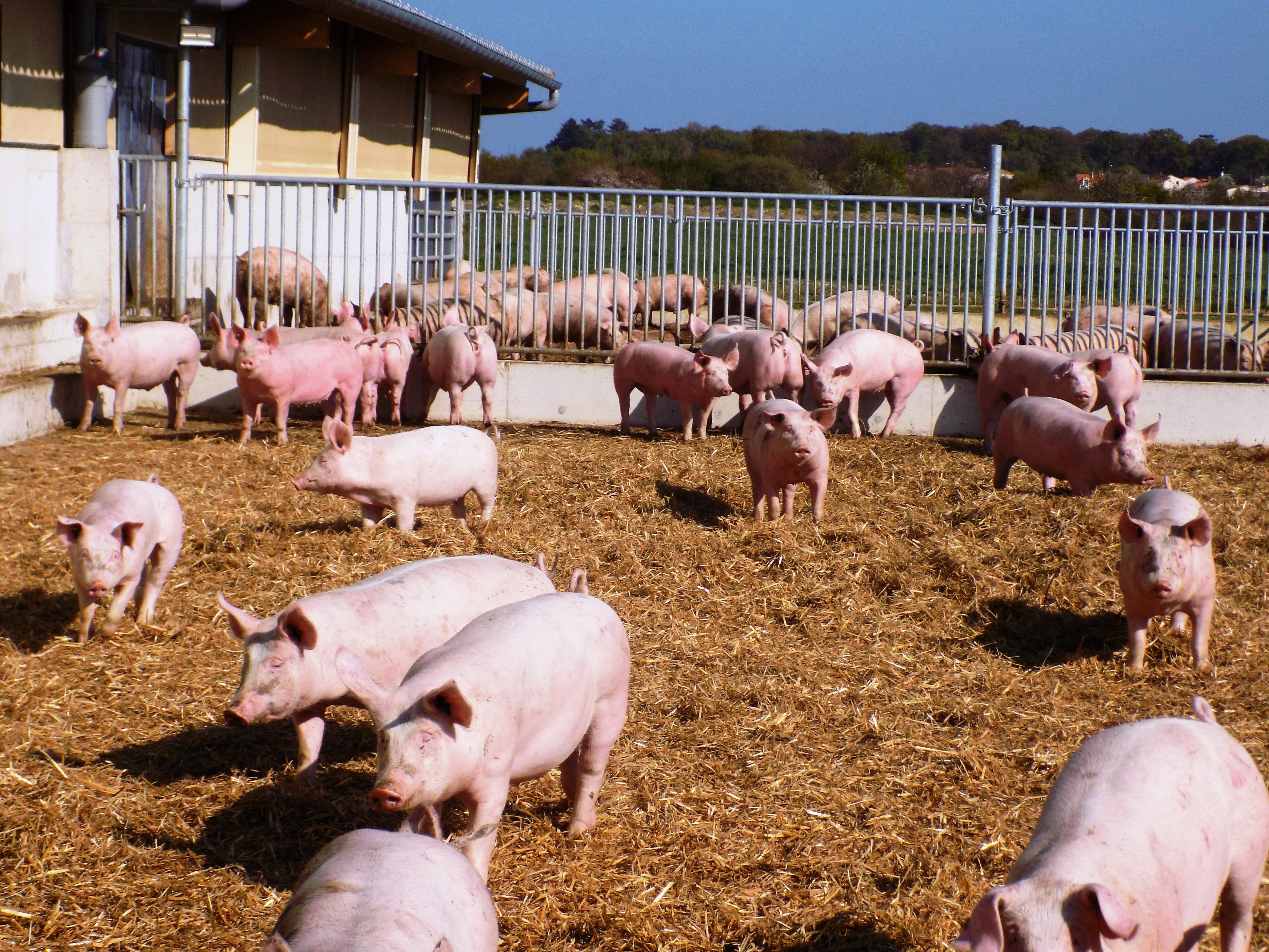 Accès extérieur des cochons en engraissement