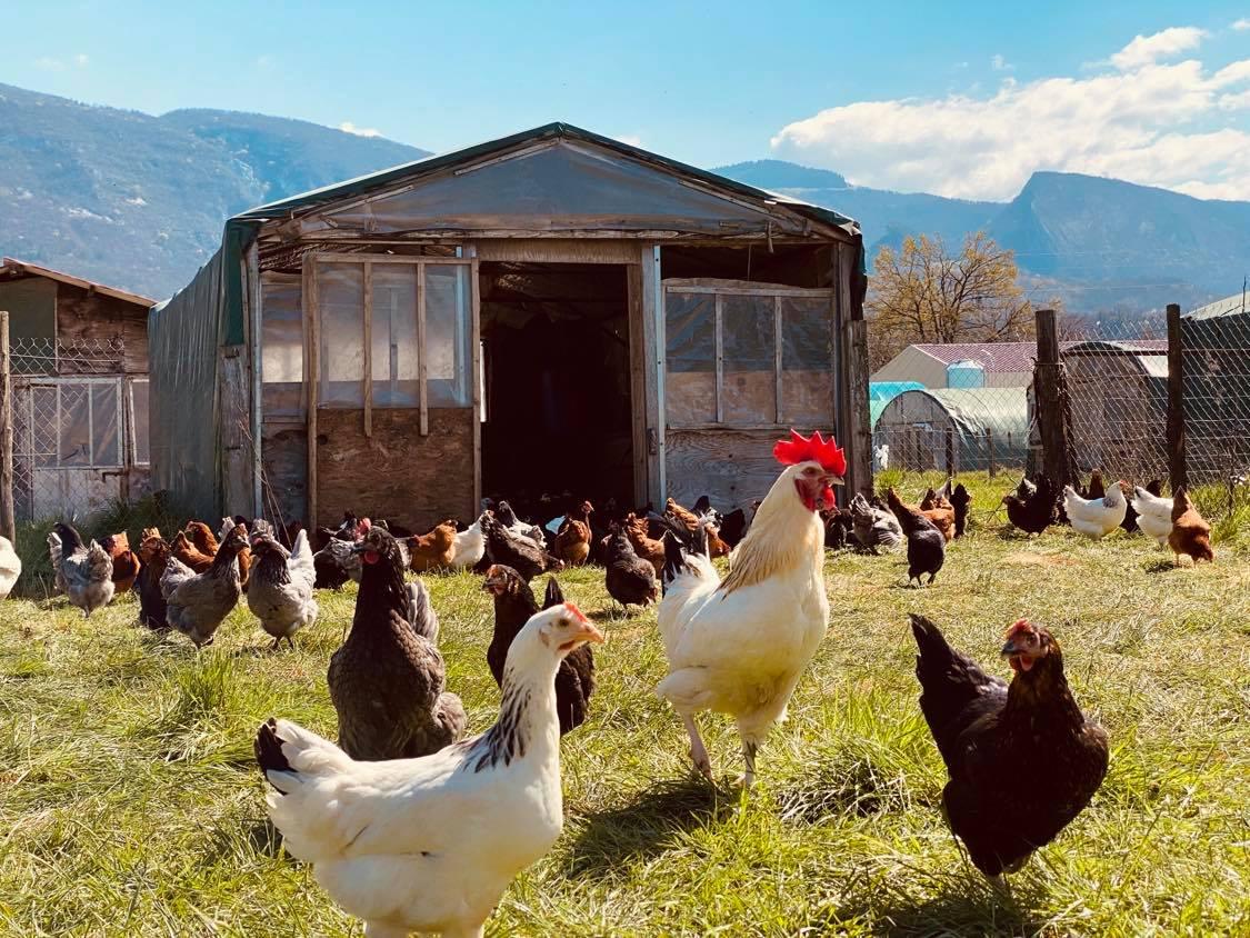 Nos poulettes pondeuse avec leur coq