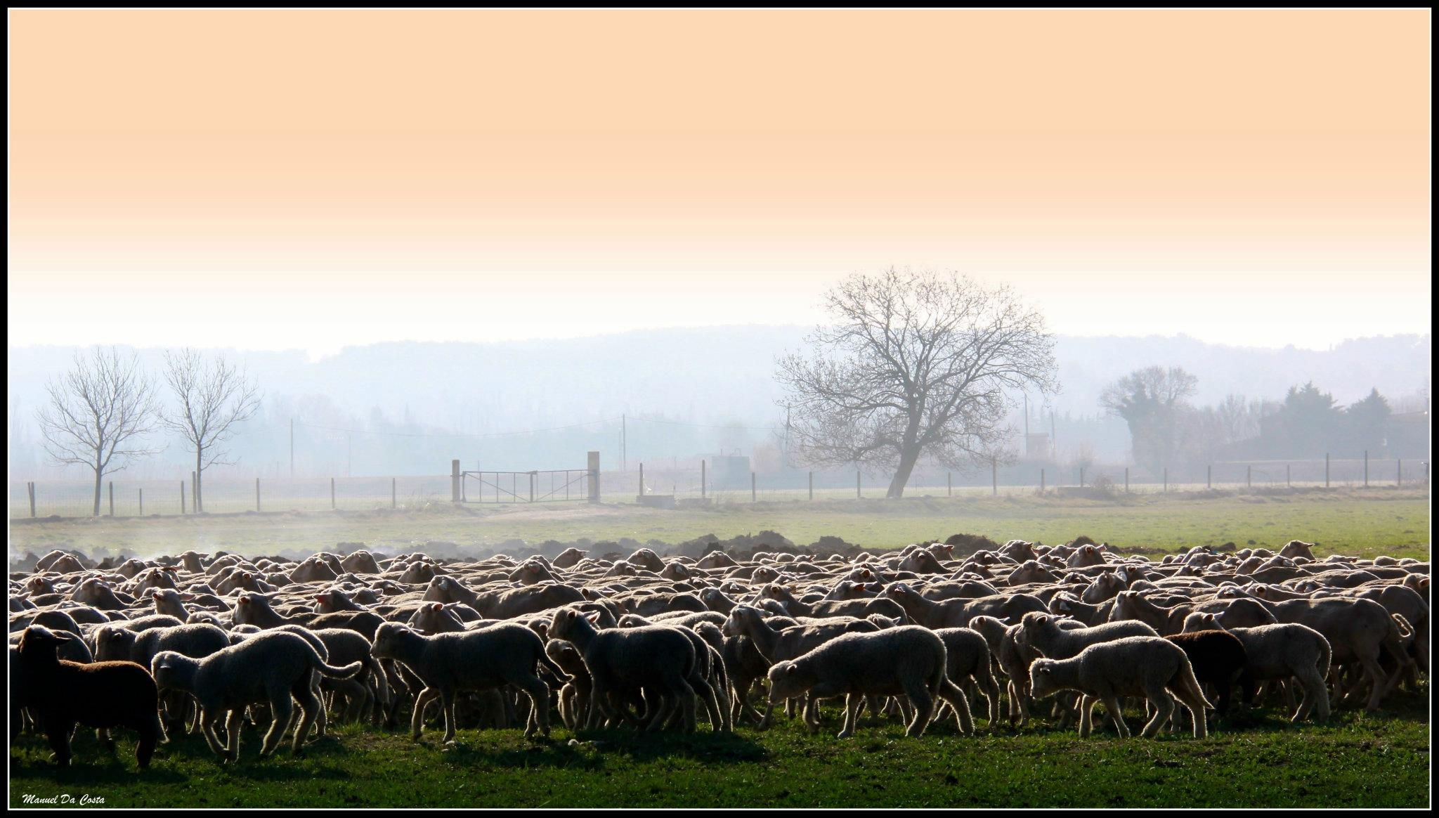 Les agneaux sont élevés par leurs mères jusqu'à 5 mois et pâturent dans les prairies de la ferme