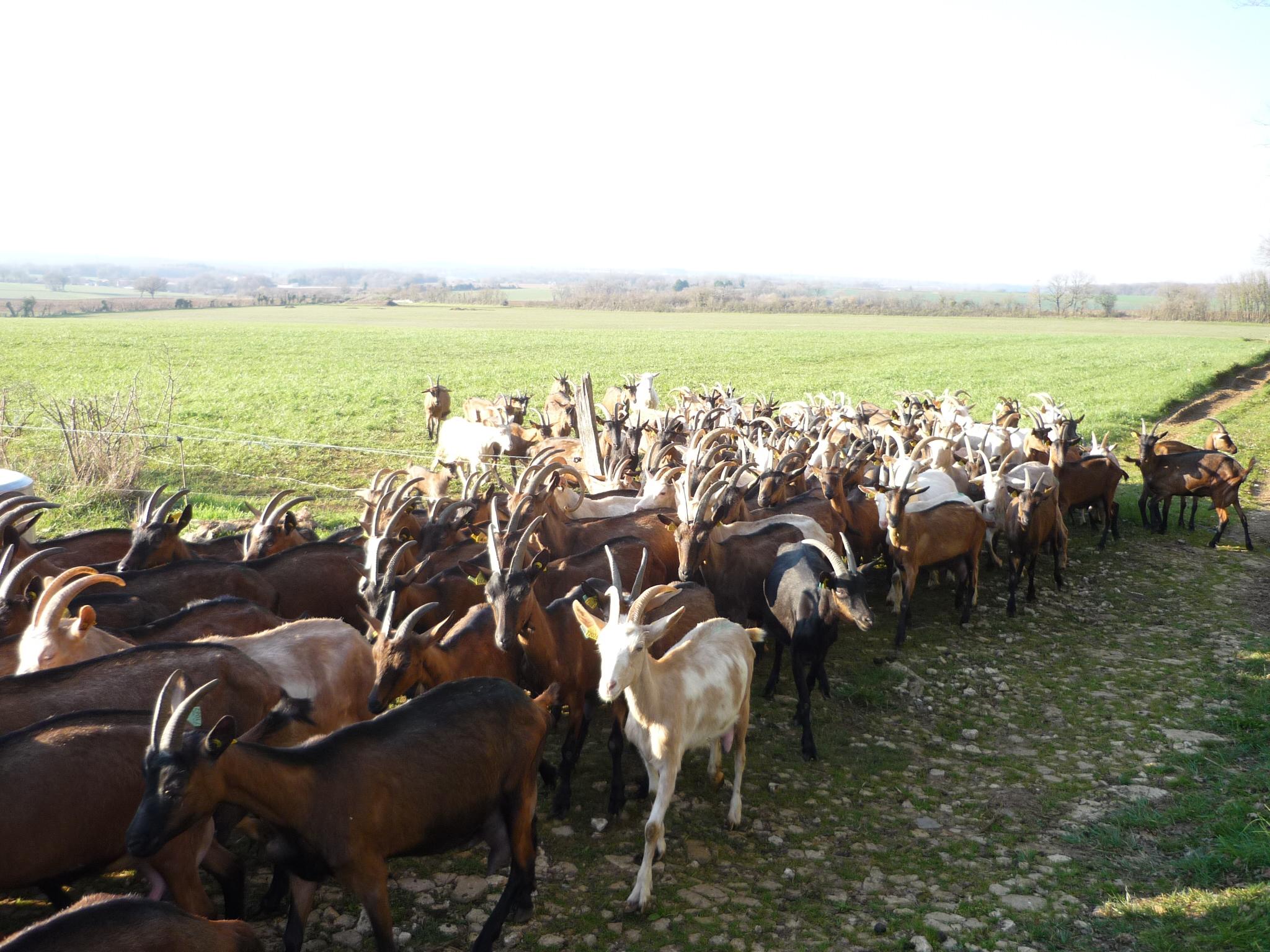 Les chèvres rentre du champs