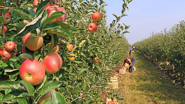 recolte de pommes