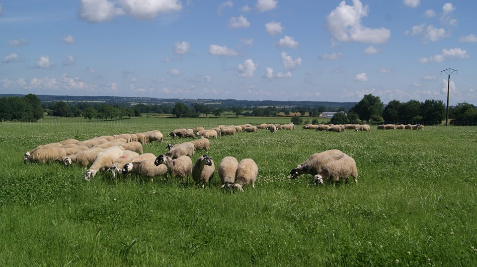 Le troupeau de brebis Rava