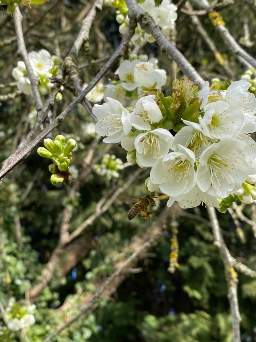 Le butinage d'une abeille noire sur fleurs de cerisier.