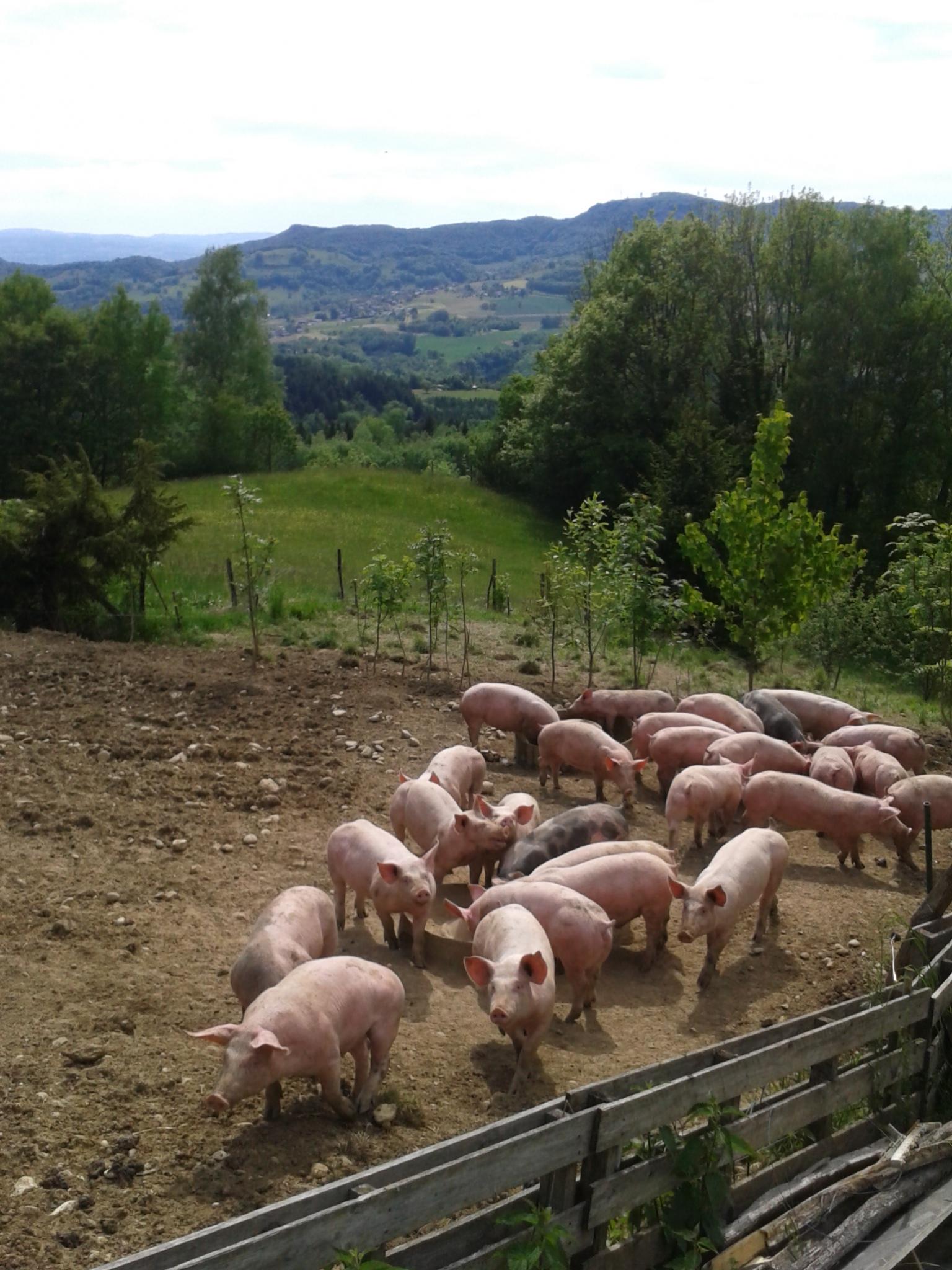 Porcs dans leur enclos.