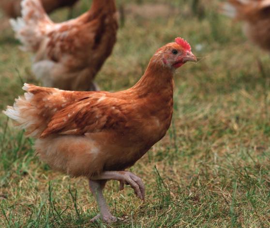 poulet élevé en plein air prêt a cuir