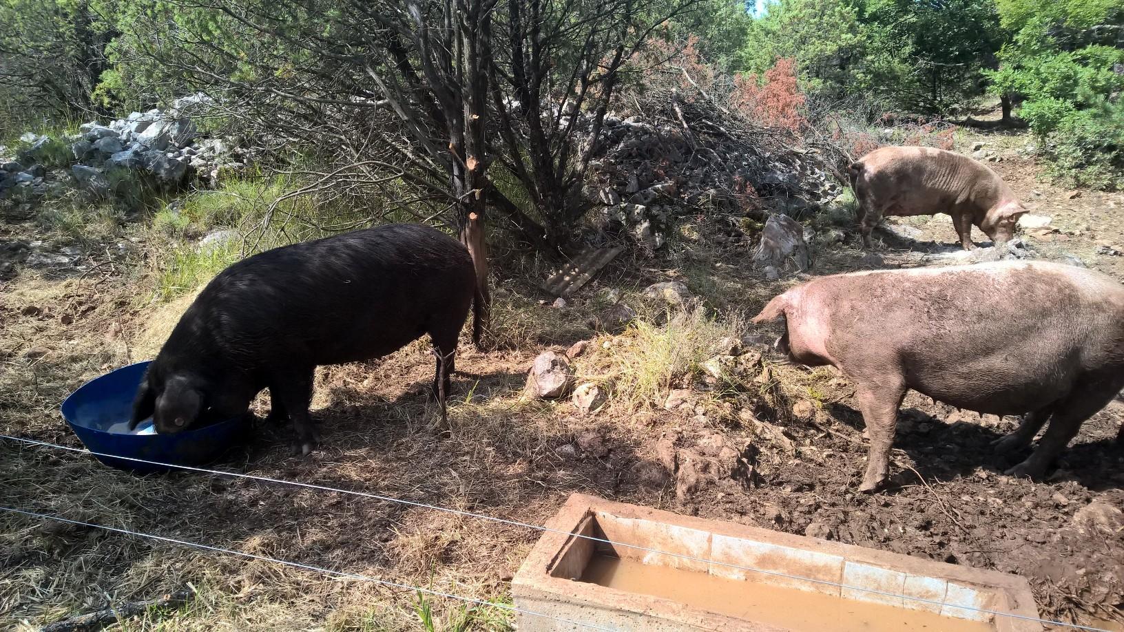 cochon de lait bio ou nourrain  Bio