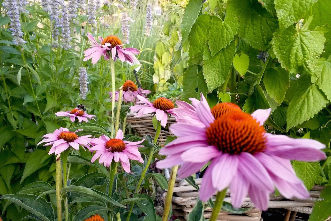 plantes vivaces- plantes aromatiques-plantes médicinales-plantes mellifère-divers plantes ornemental