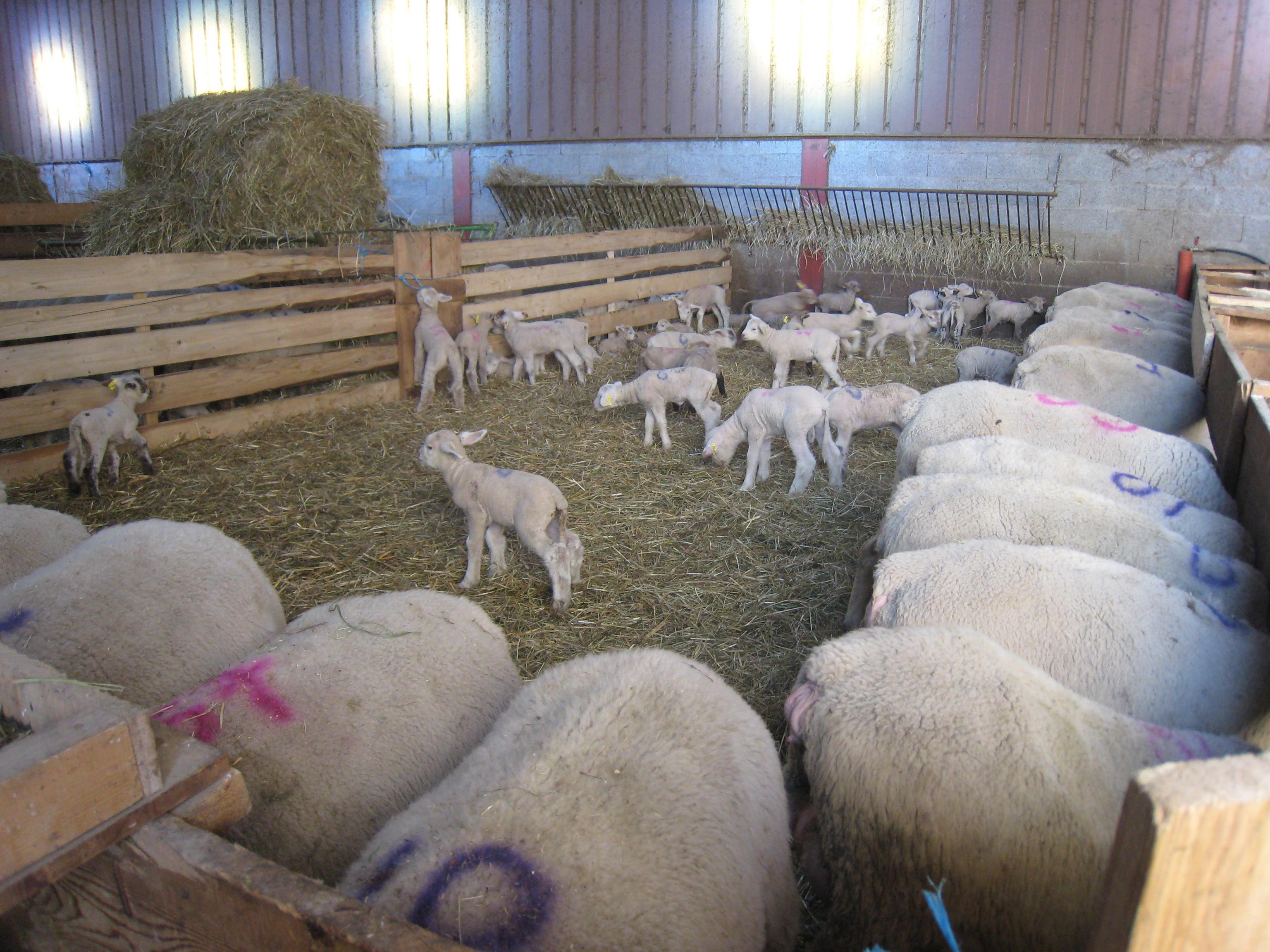 colis d'agneau d'alpage à 16€/kg