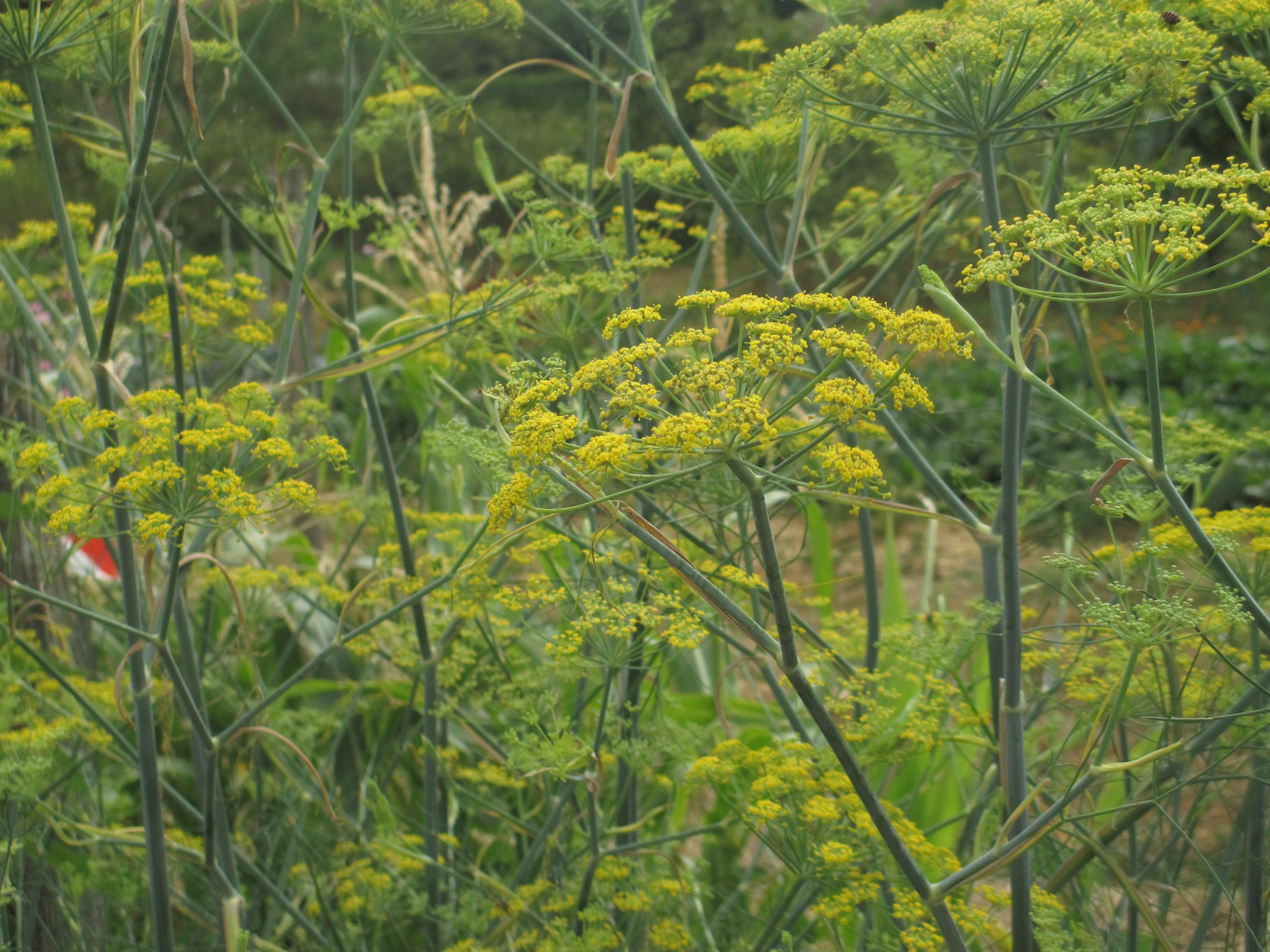 herbes fraiches et tisanes