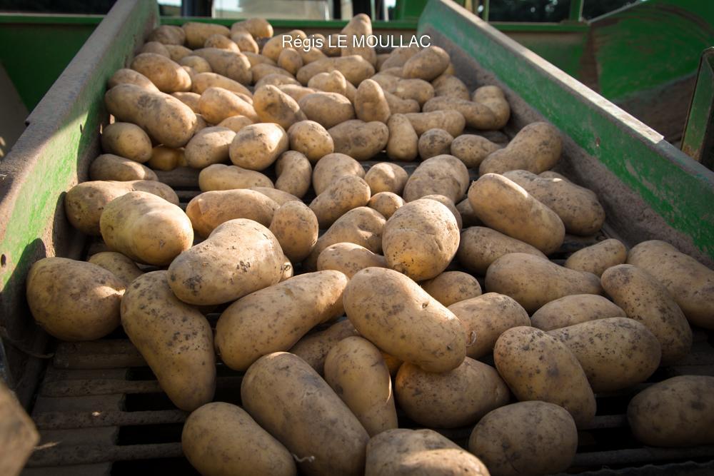 Pommes de Terre de Consommation à Pontivy