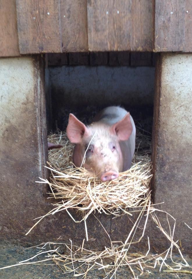 Viande de porc