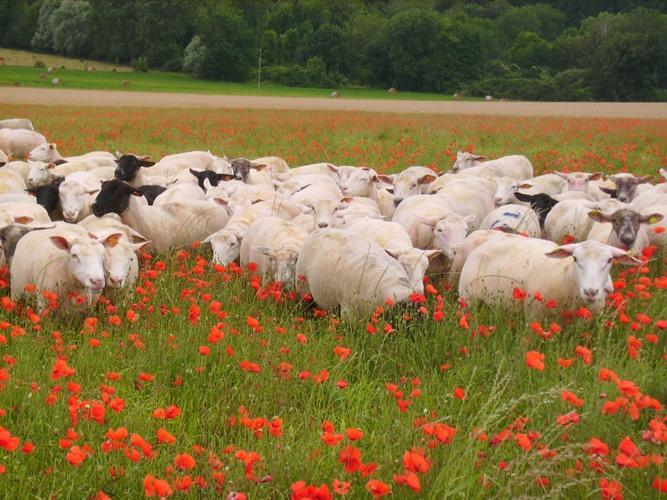 Colis d'un demi-agneau ou d'un agneau entier