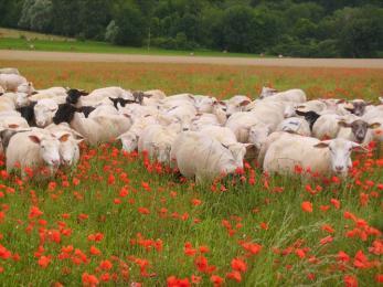 Merguez 100% mouton